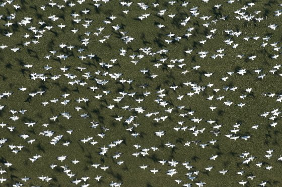 Snow and Ross Geese One D1120331
